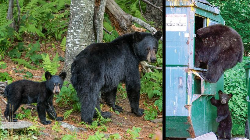 """MA Fish & Game:  """"Never thought you'd see a bear? Think again"""""""