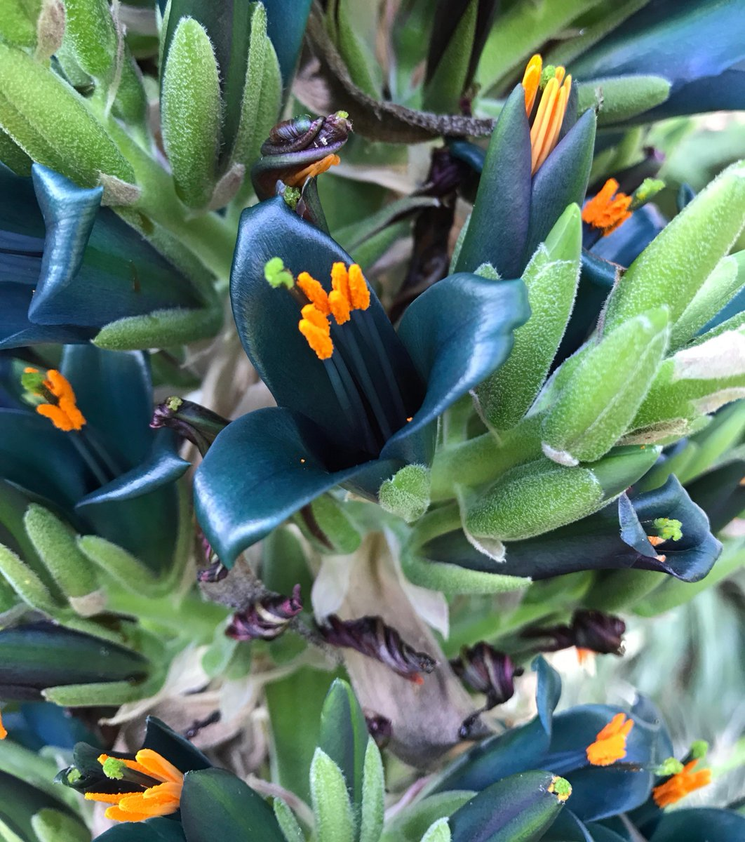 In the Garden this week: winter veg plot by trainee Olivia, plants to help cure Covid-19 and a stunning Puya alpestris, a bromeliad from Chile which is related to a pineapple. #botanicgarden #plants #gardening