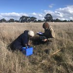 We've put stockings on a plant! Very useful to capture seeds from the Spiny Rice-flower (Pimelea spinescens).  Normally we use tea bags (seriously!) Check out why here:  https://t.co/TSSezfkwvS @EnviroNews @DELWP_Vic  @AusLandcare @landcarevic #coolscience #flower