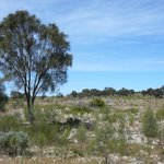 Drooping Sheoak trees that live on limestone used to be one of the most common vegetation types on EP but are now quite rare. There is a proposal to change their status to a critically endangered ecological community. Comment or find our more➡️ https://t.co/1ZZyRKtMY3 @envirogov