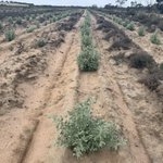 Are you a Wheatbelt landholder interested in being part of a trial to see what impact saltbush has on soil carbon? We're looking for farmers who want to plant saltbush and are prepared to participate in a pilot program to measure soil carbon storage. https://t.co/hpsIUPqicg