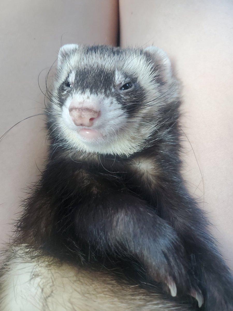 Smug ferret   #smug #ferret #ferrets #pets #PetsBringUsTogether #petsitting #family #familyfun #pet #small #funny #comedy #cute #adorableness #adorable #cutepet #petsarefamily #smallanimal #petsofinstagram #cuteboy #boy #funniesttweets #fun #comedy #meme #memeface #memesdaily https://t.co/eEuiRgDiaX