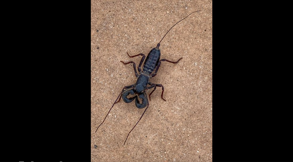 """Texas national park warns of acid-spraying """"whip scorpions"""" https://t.co/WkOuC4BSNi https://t.co/lEREMehrWh"""
