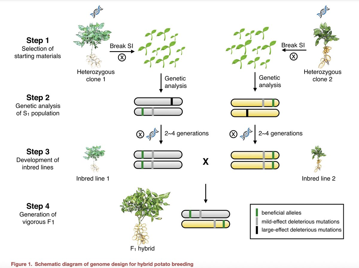 """""""This study transforms #potato breeding from a slow, non-accumulative mode into a fast-iterative one, thereby potentiating a broad spectrum of benefits to farmers and consumers.""""  #Science  #Genetics  #plantsci  #plants   ⏯️Genome design of hybrid potato: https://t.co/A0ynkDcsAl https://t.co/FigairPLM0"""