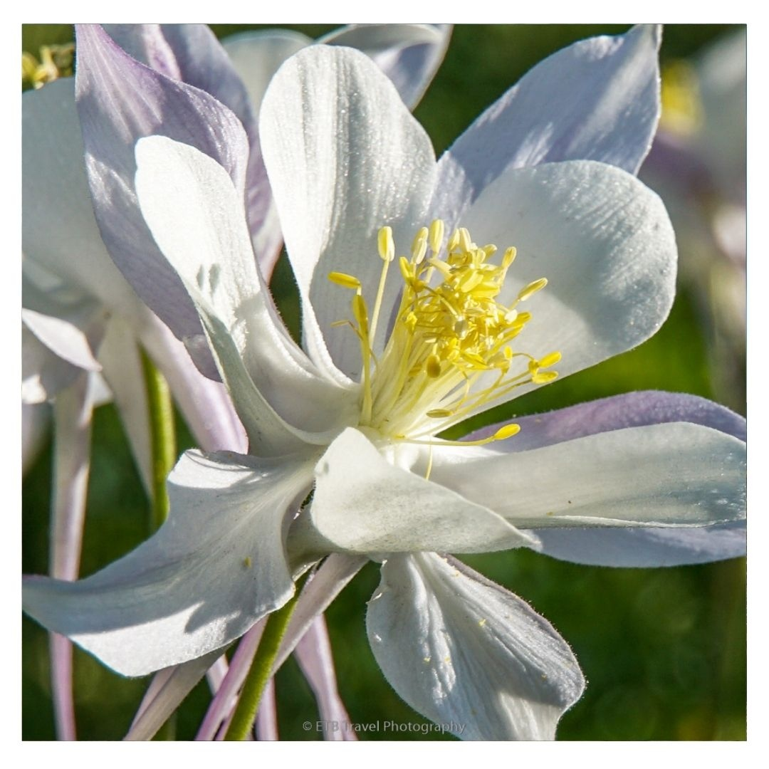 Rebel Pops Macro -  Just a beautiful blue columbine, Colorado's state flower.  This one is a bit lighter than normal.  Almost white!  #trjforbloggers #travelblogger https://t.co/MeOeupqAkJ