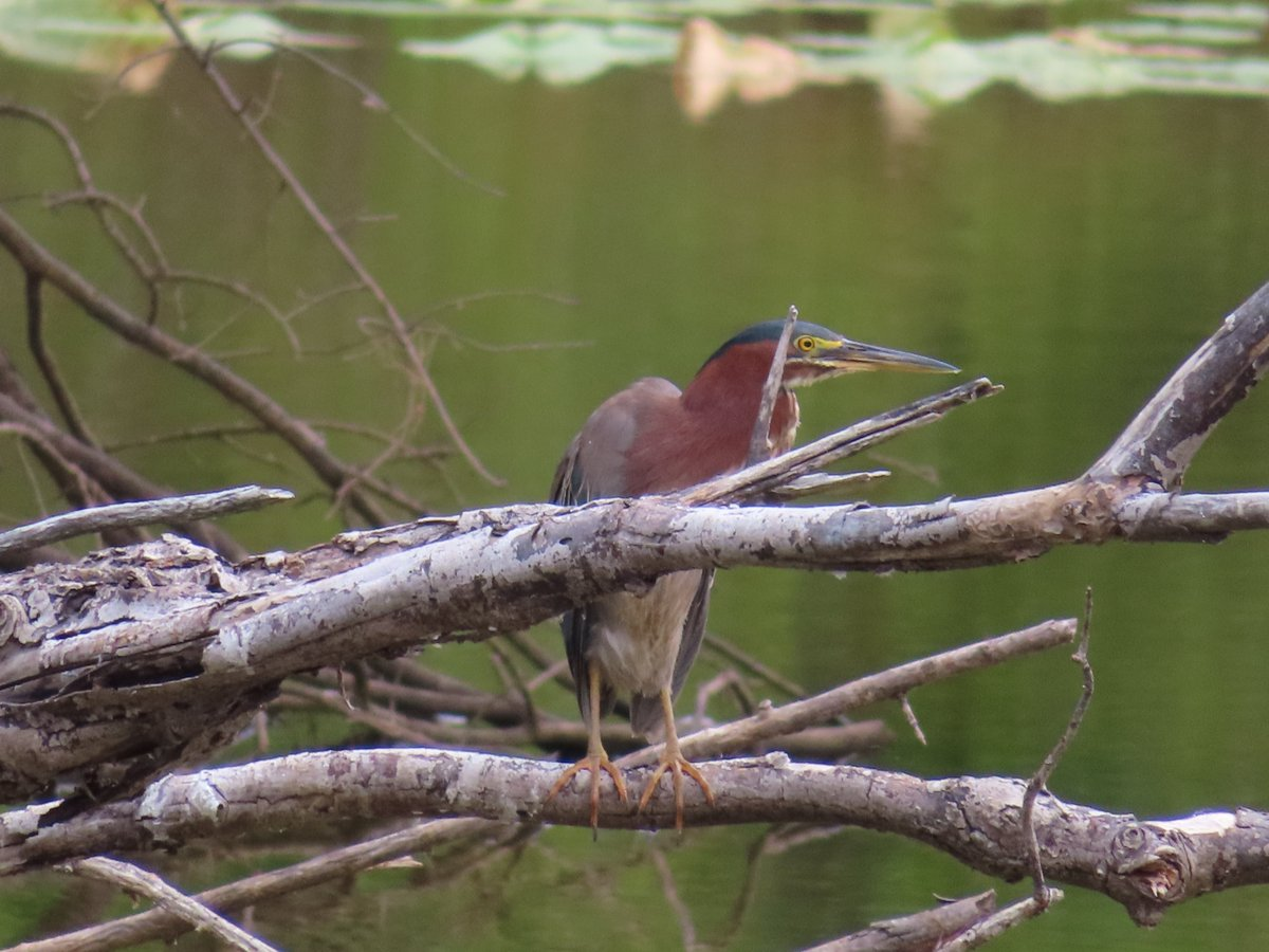 The beautiful and colorful green heron!  #naturephotography #birdphotography #birds https://t.co/f05B6FV2LK