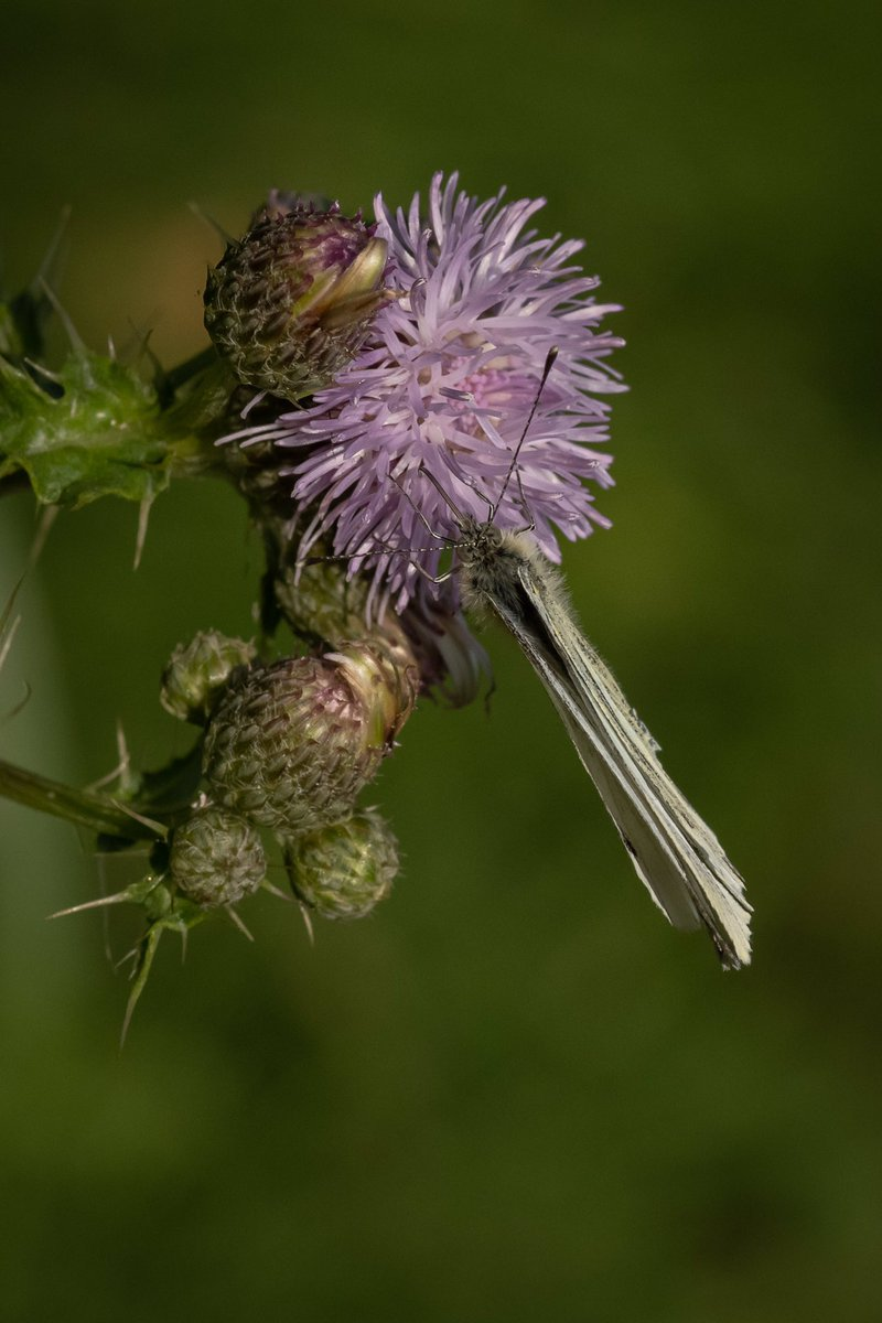 Sweet tasting nectar at the Thistle Stop Cafe :)… #photography #photo #photooftheday #amateurphotography #Nikon #macro #macrophotography #ThePhotoHour #nature #NaturePhotography #wildlife #wildlifephotography #wildflowerhour #Butterflies https://t.co/t02ZNb7Dkp