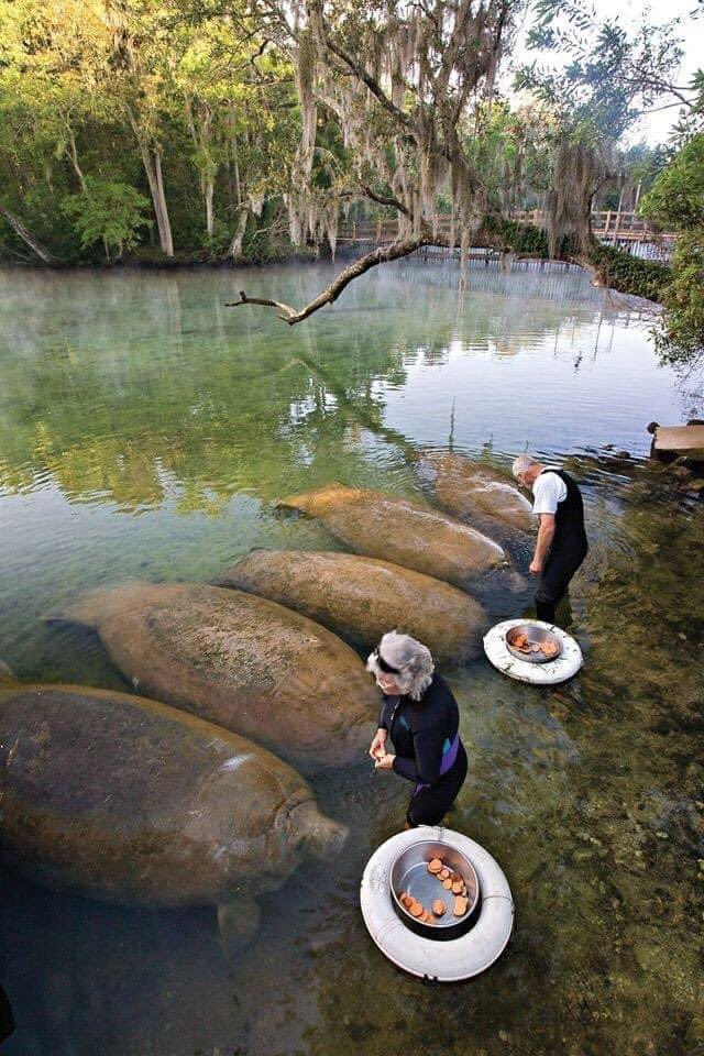These nice people are feeding Manatees some sweet potatoes! How nice! 🍠 😋  #naturephotography #manatee https://t.co/n1ampSAe8k