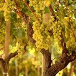 Image for the Tweet beginning: #notizie #sicilia Coltivazioni di uva siciliane