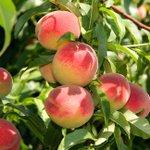 @Rungis_bv - Loopt het water je al in de mond? Perziken, nectarines en abrikozen zijn nu volop in het seizoen en dat proef je! https://t.co/909FTQ1tgj #perziken #nectarines #abrikozen #steenfuit #rungisnl #VijfSeizoenen #barendrecht #chefswarehouse https://t.co/ZkmHqoLQZZ