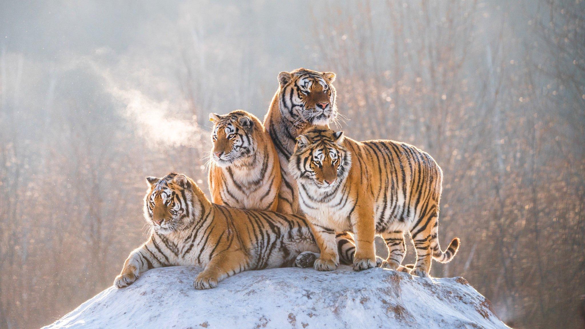 प्रधानमंत्री मोदी ने 'अंतर्राष्ट्रीय टाइगर डे' पर वन्यजीव प्रेमियों को बधाई दी