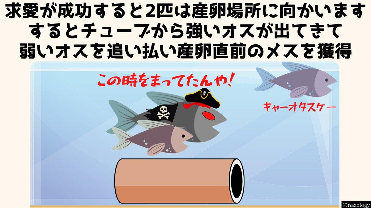 他のオスに求愛行動を代行させる!?強い魚のオスになると求愛海賊行為をする!