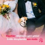 Image for the Tweet beginning: #Köpekler evlilik dünyasının vazgeçilmezi haline