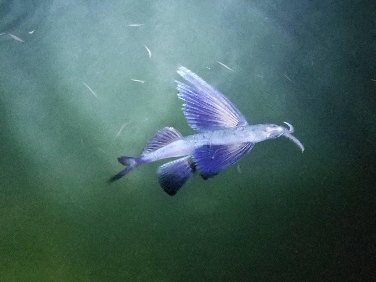 トビウオ?!半透明で美しい魚を発見!