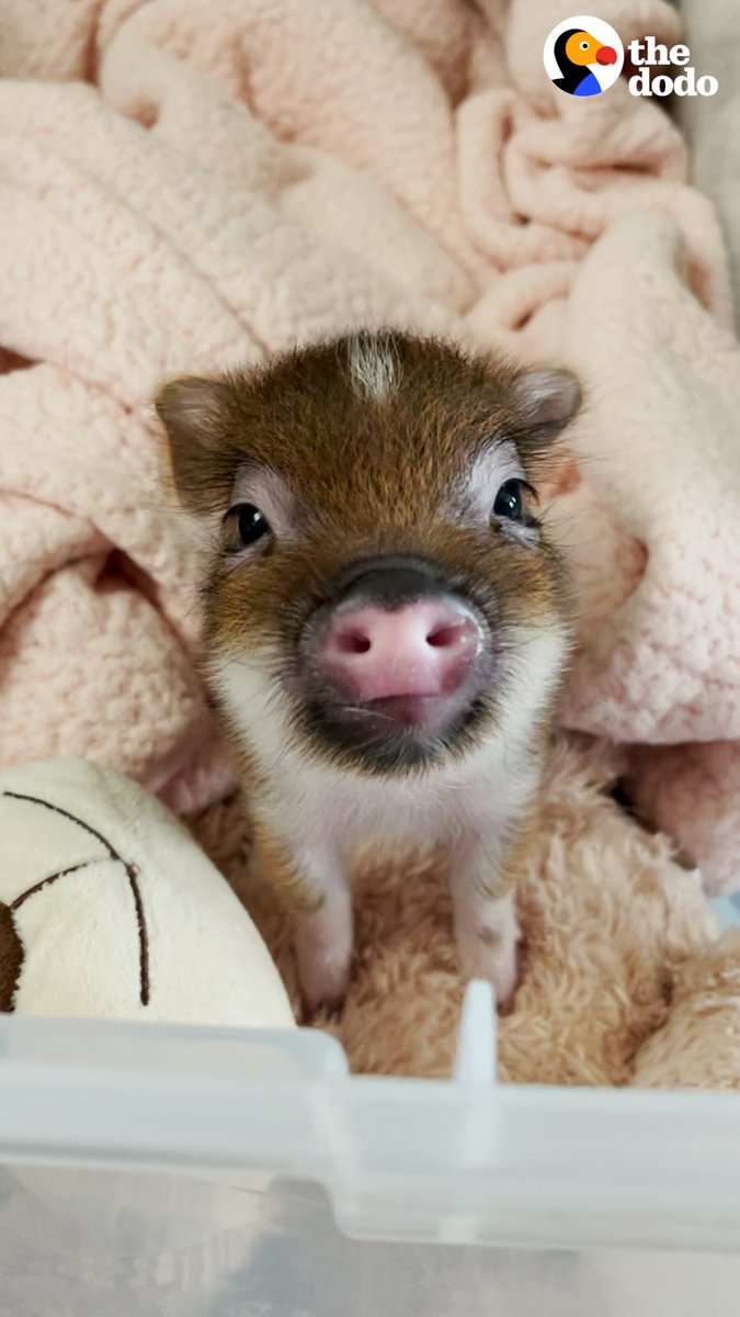 Blueberry the Pig Might Be the Cutest Pig I've Ever Seen!