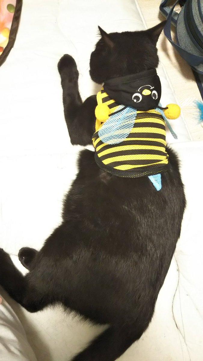 test ツイッターメディア - 6kgにSサイズ 3kgにMサイズ  着せてみた😂😂😂  ちなみに3kg+Mサイズは 歩いたら脱げた😂  #DAISO #黒猫 #猫好きさんと繫がりたい #保護猫 https://t.co/NiTPcDAs6e