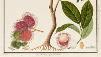"ICYMI, follow Semine Long-Callesen and Nancy Valladares on ""The Journey of the Hairy Fruit"" #foodhistory #rambutan"