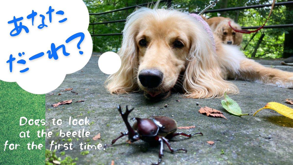 🍉YouTube 🍉 生まれて初めてカブトムシを見た犬の姉妹の反応~異種間の友情なるか⁉  @YouTubeより #夏休み #youtube  #dog #犬 #犬動画 #ペット動画 #わんこ動画 #ゴールデンレトリバー #ゴールデンレトニエル #カブトムシ