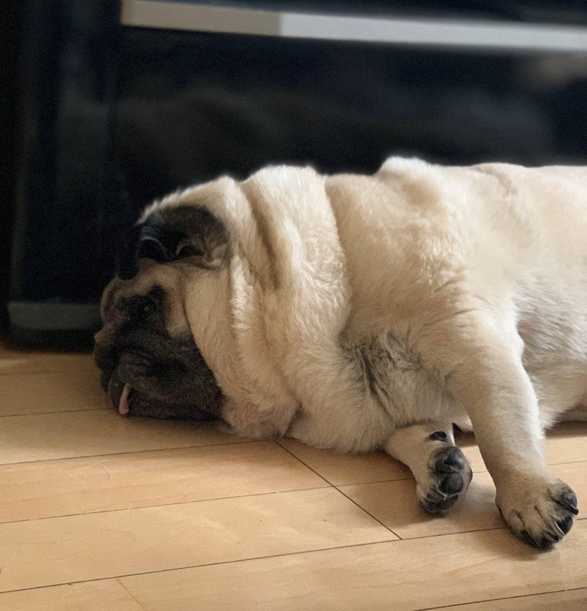 暑いね🥵🥵💦  #pug #dog  #パグライフ