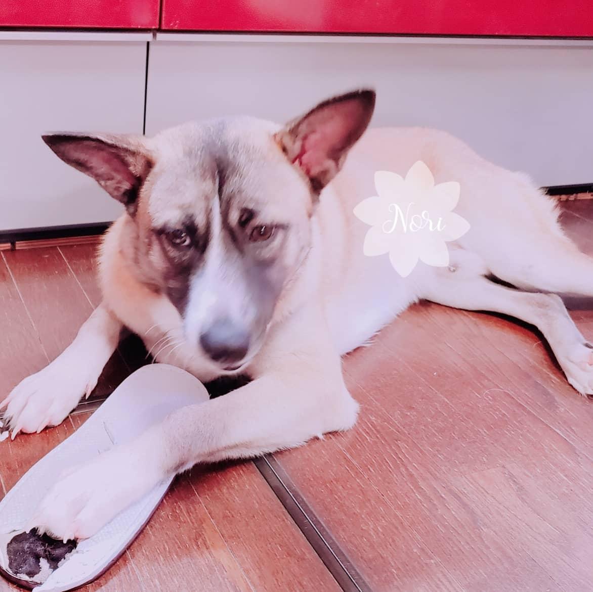 不覚にもスリッパをひとつ奪われてしまい、自分がする掃除の手間を増やした。  #dog #犬 #犬のいる暮らし #元保護犬 #室内飼い
