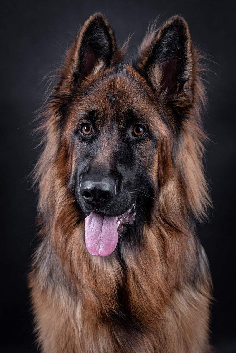 Thor :) #pies #psifotograf  #owczarek #owczarekniemiecki #pieskiezycie #sesjazwierząt #fotografia #doglovers #dog  #dogphotographer #słodziak #piesek #psiportret #dogportrait #shephard #germanshephard #jaworzno #cute #lovely