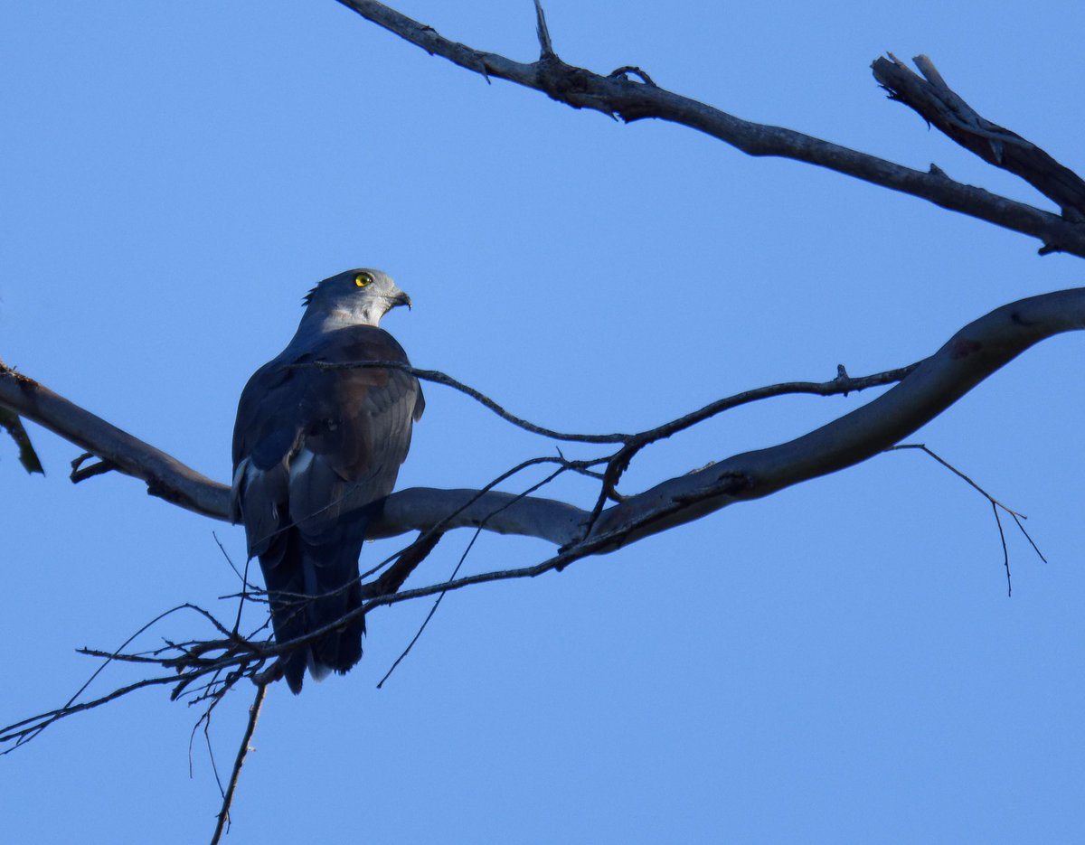 Pacific Baza (Crested Hawk). #wildlife #wildlifephotography #wildbird #birds #birdsofprey #australia #photo #photographylovers #PicOfTheDay #majestic  #tamronaustralia