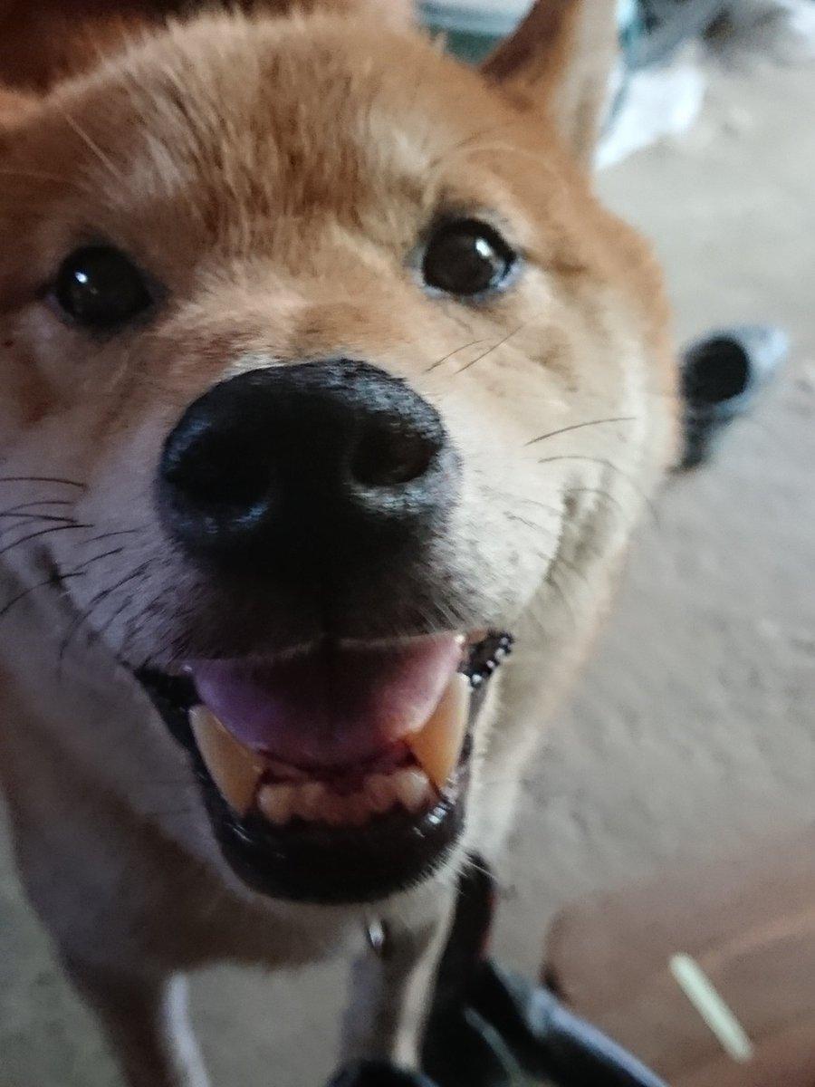 柴犬の接近!可愛すぎるお顔に癒される