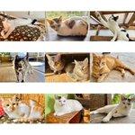 Image for the Tweet beginning: .  明日の #譲渡会 は大人にゃんこも 気合いを入れてお待ちしています🥰  ずっとのおうちを待っている子が たくさんいます。 是非みんなに会いに来て下さい!✨  . #保護猫 #秩父 #秩父市