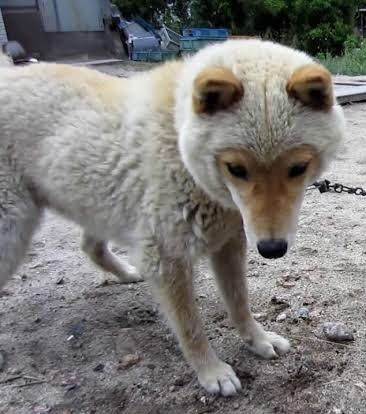 天然記念物にも指定されている、山陰柴犬の可愛すぎる特徴とは!?
