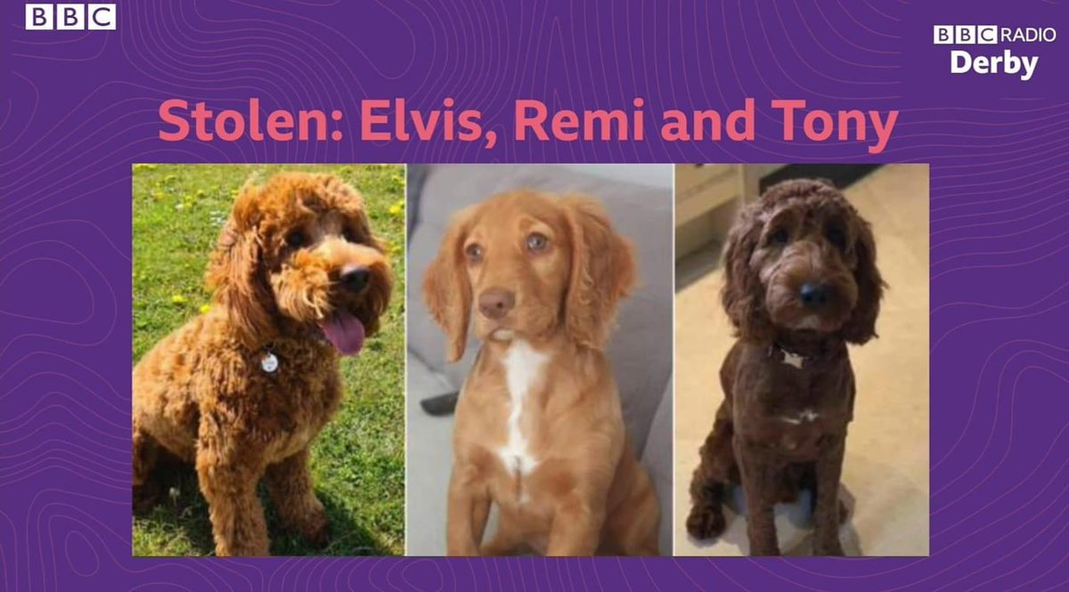 IT MAY BE THE LAST MINUTE OF THE #twitterstorm BUT.. We will not stop looking for these 3 beautiful #spaniels  #Tony #Remy #Elvis  Please don't think you've been sent away because you did something bad  ❤️YOU ARE LOVED BEYOND WORDS..we are coming for you❤️ #spondon3 🚨🚨🚨🚨🚨🚨