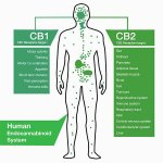 The body's internal #balance, including #sleep regulation, is #controlled by the endocannabinoid system (ECS). ECS occur #naturally in our #bodies. Phytocannabinoids are found in #plants and can mimic the #action of ECS. The body recognises #phytocannabinoids as #endocannabinoids