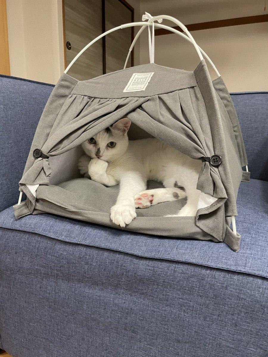 ダイソーのテントがお気に入りの愛猫。飼い主さんも買ってよかったと大満足!