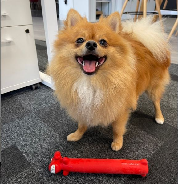 We have a visitor today at ArtiCAD HQ! Everyone meet Mango🤩 #articad #officedog #pomeranian #kbb #pets