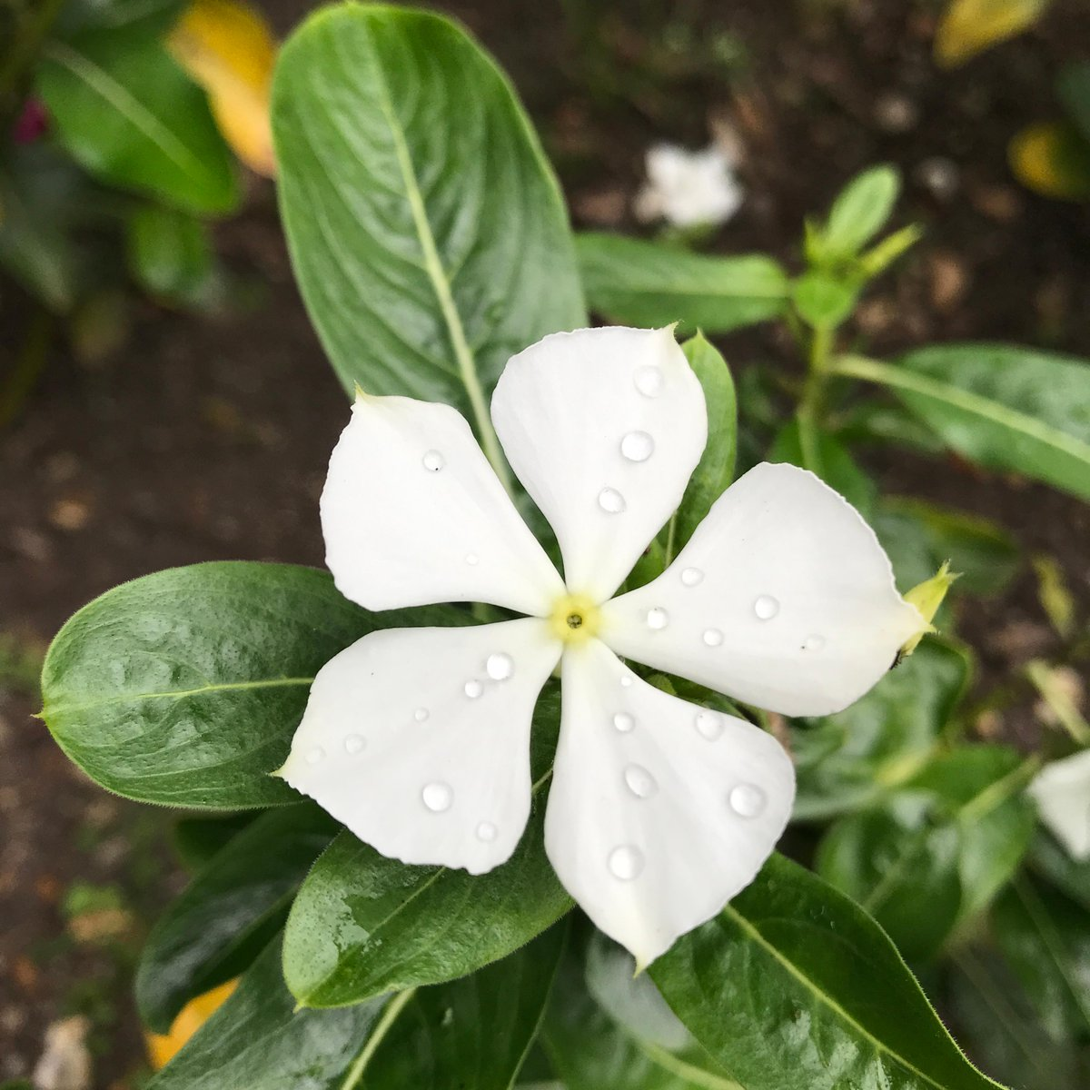 Catharanthus roseus: Madagascar periwinkle. Its compounds of vincristine and vinblastine have have been used in the treatment of leukaemia and lymphoma. These compounds are now produced artificially. Find it in our Garden of Medicinal Plants. #botanicgarden #medicinalplants