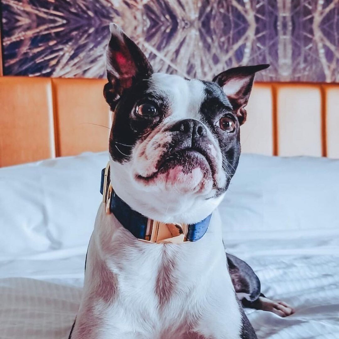 A friendly reminder for #nationaldogday - vacations are for the whole family. Travel with us and never leave your dog behind again. 📷 brooklyn.the.bossy.boston on IG 📍 @WestinYYZ