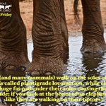Image for the Tweet beginning: Happy #EleFunFactFriday!Humans (& many mammals)