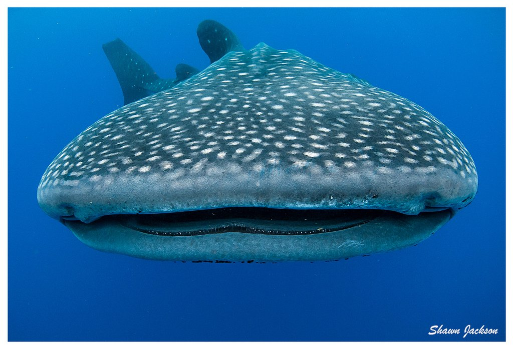 The whale shark is the largest shark in the world! Don't worry though, these gentle giants are filter feeders cruising through the ocean. Images by Ikelite Ambassador Shawn Jackson. https://www.ikelite.com/blogs/ambassadors/shawn-jackson…  #ikelite #whaleshark #sharkweek #sharks #ocean #tropicalwater #roatanpic.twitter.com/fC5vPLZvId