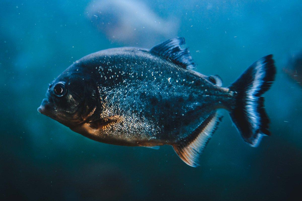 Картинки пираньи рыбы, старым новым годом