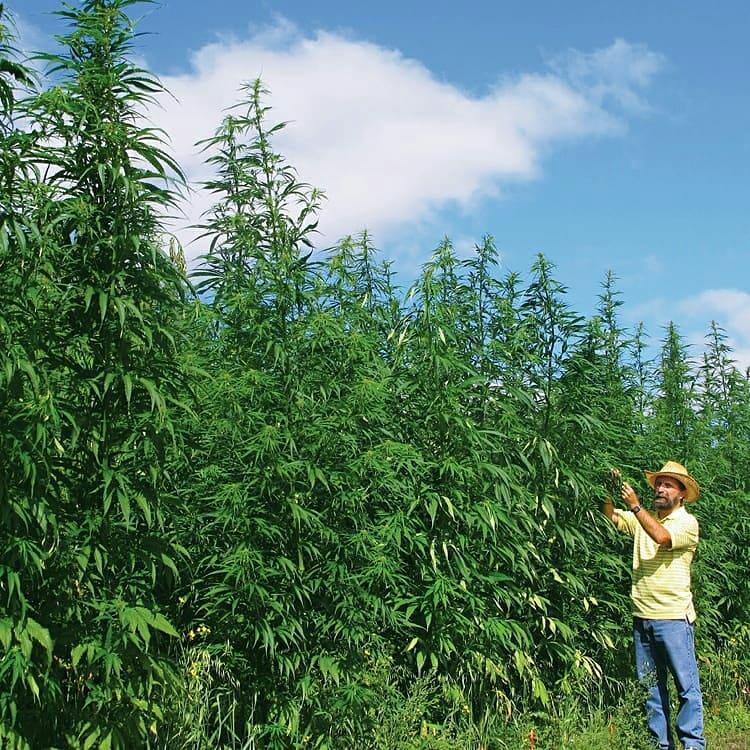 Сколько кустов марихуаны выращивание конопли боксы