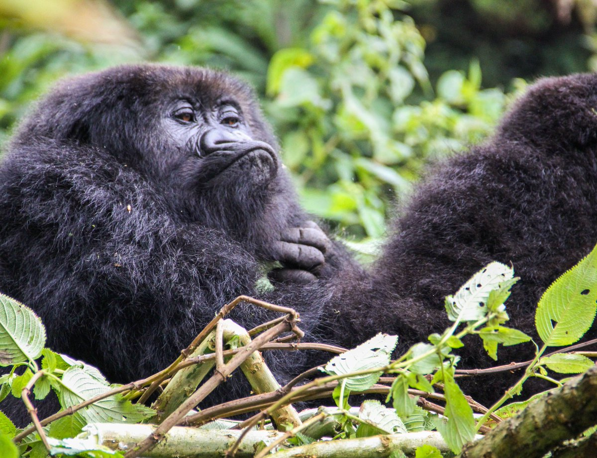 The face you make when you have to wake up early on a Sunday 😑   📸: Veronica Vecillio  #gorilla #rwanda #dianfossey #conservation #wildlife #wildlifephotography #nature #naturephotography