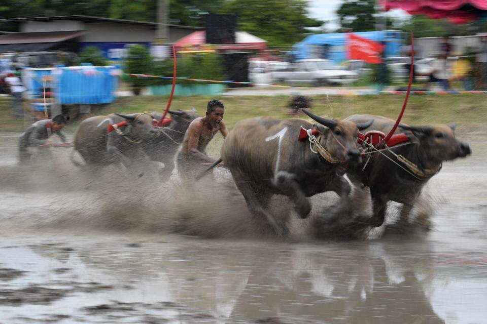 #ItsViral | Prized Thai buffaloes show off speed in muddy race. See pictures  https://www.hindustantimes.com/it-s-viral/prized-thai-buffaloes-show-off-speed-in-muddy-race-see-pictures/story-D4jQvJQVumABgIlWeRyQ4N.html…