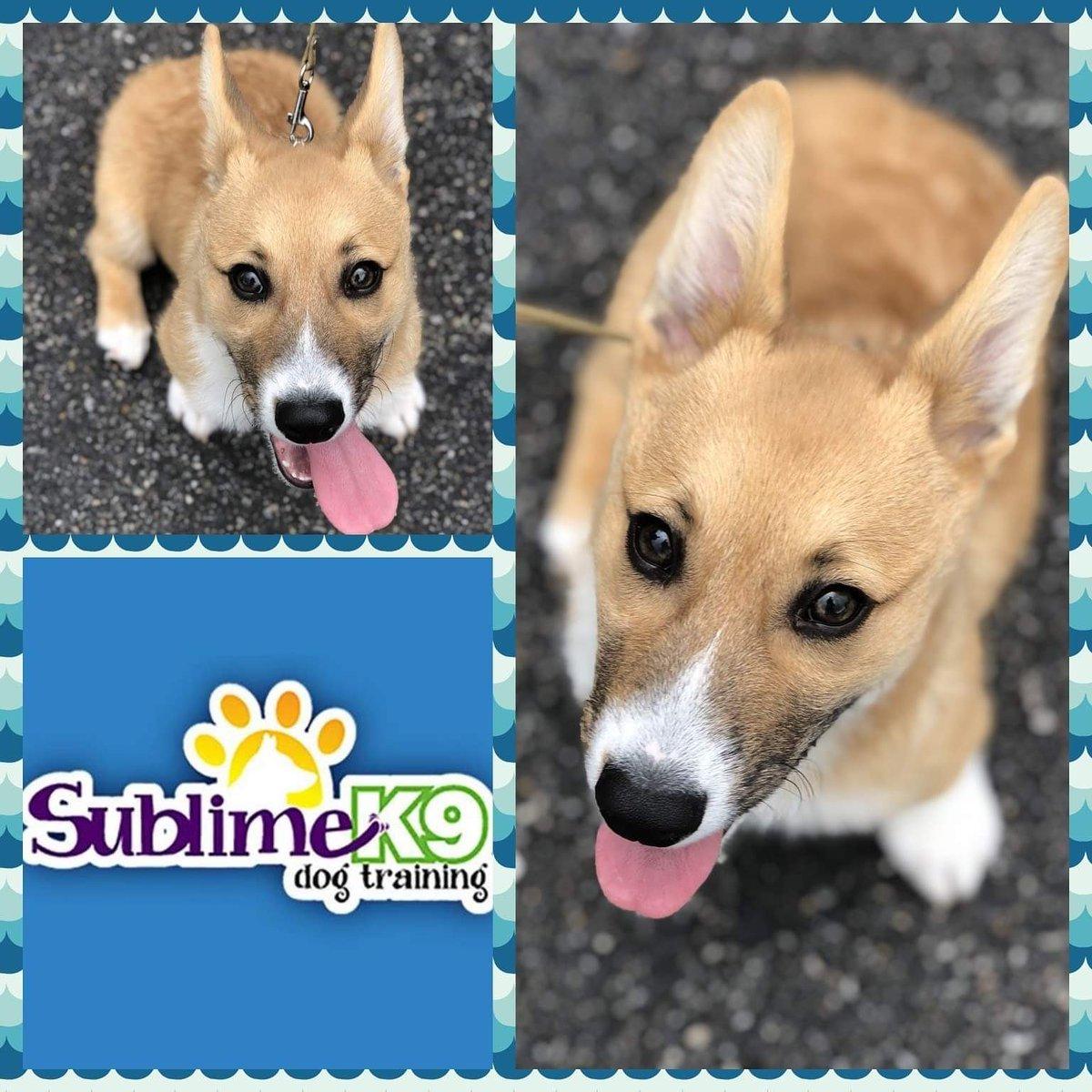 Sublime K9 Puppy Graduate 🎓 Mr. Potato  http://sublimek9dogtraining.com  #nassaucounty #therapydogtraining #obediencetraining #suffolkcounty #recall #place #impulsecontrol #dogtrainers #puppytraining