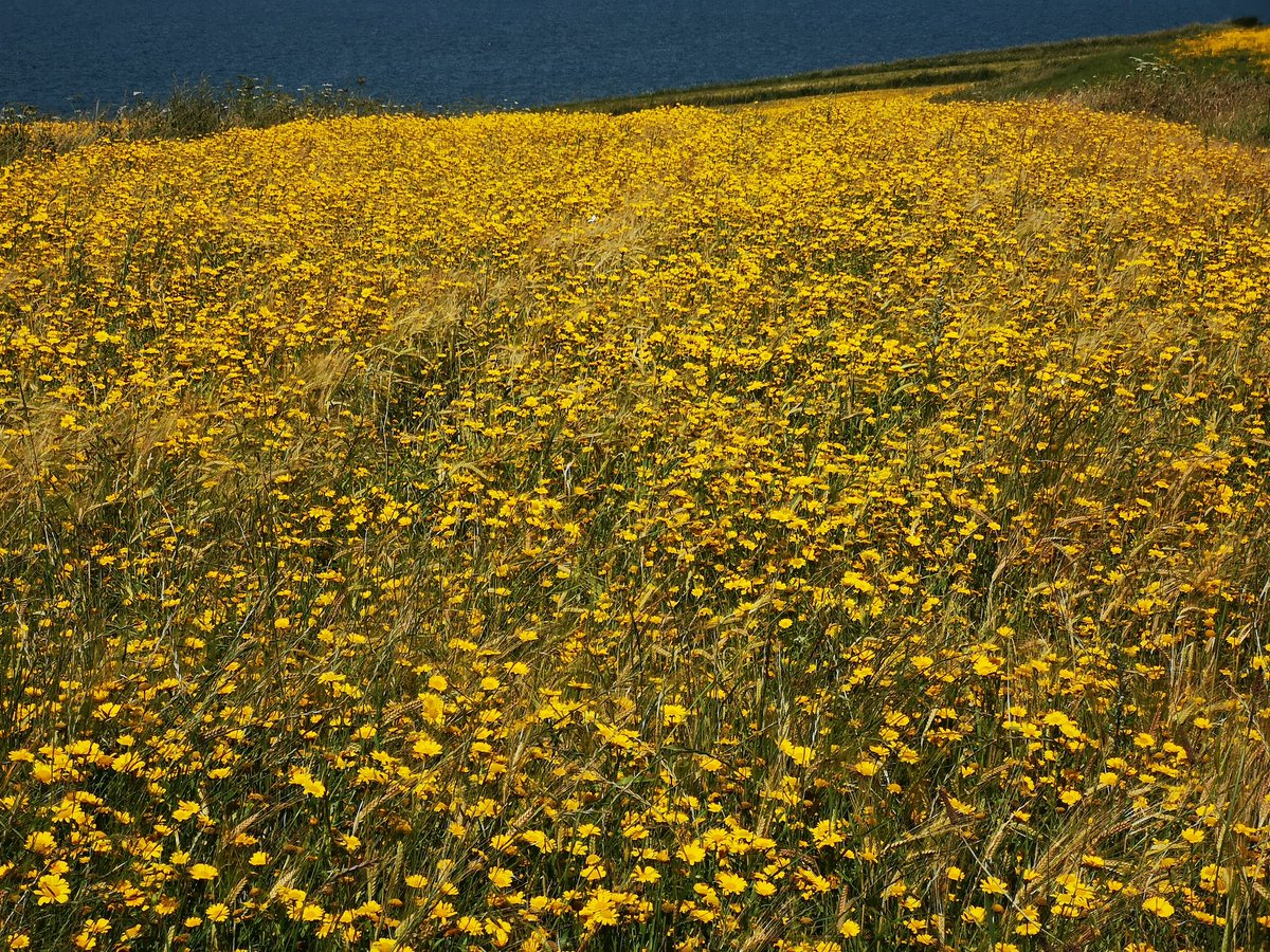 One of only 3 rare survivors in the country of the stitch meal method of farming common up to the 17th  century #wildflowersandfarming<br>http://pic.twitter.com/GiCsUfqZFJ