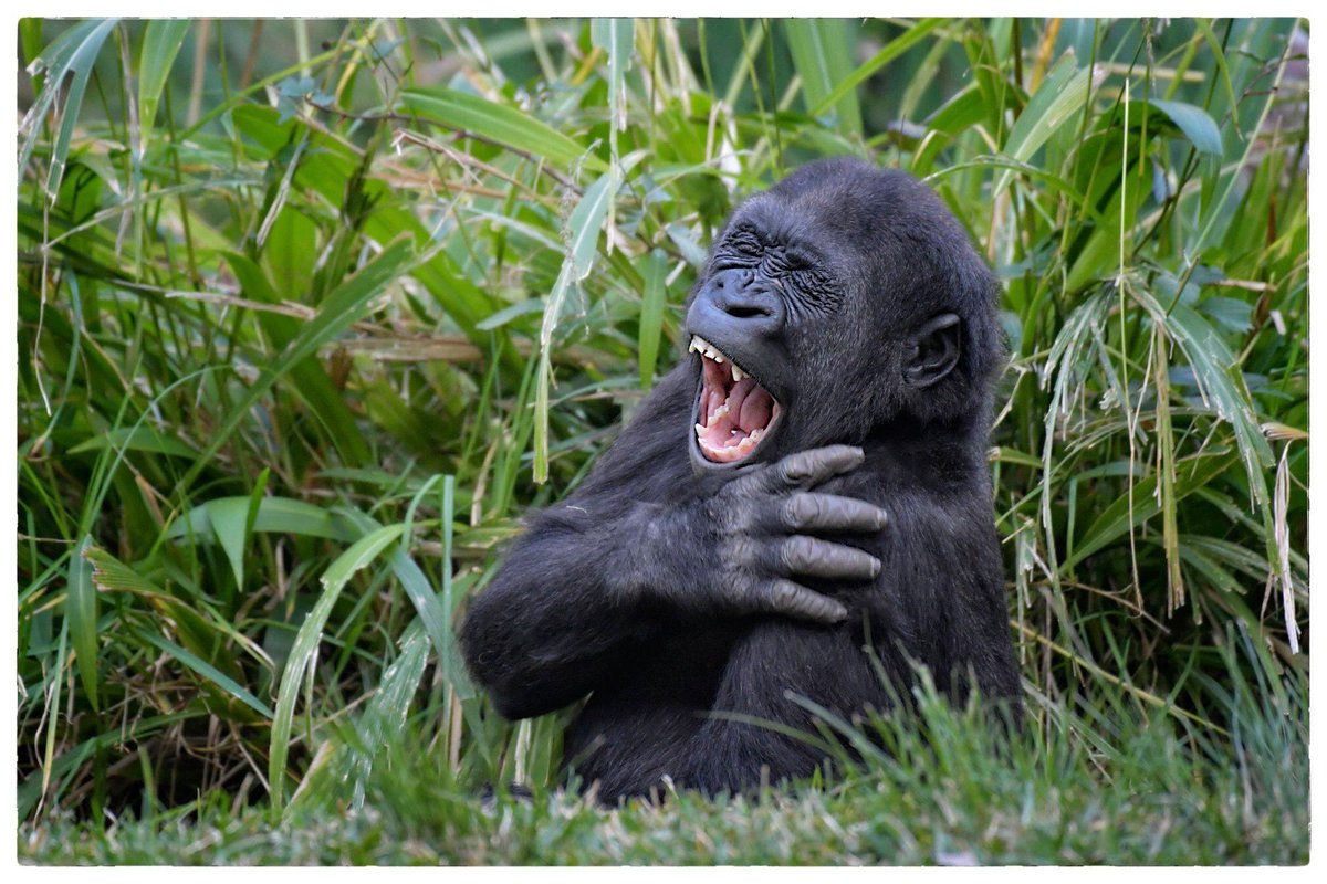 Sunday Smile @sdzglobal @sandiegozoo  Your Sunday Smile is provided by Denny,  the graduated Master of tricks of all kinds ! Sometimes, you just have to entertain yourself … 😉😂 #gorilla #cutebabyanimals #ape #primate #sundaysmile  ©Véronique AUBOIS -
