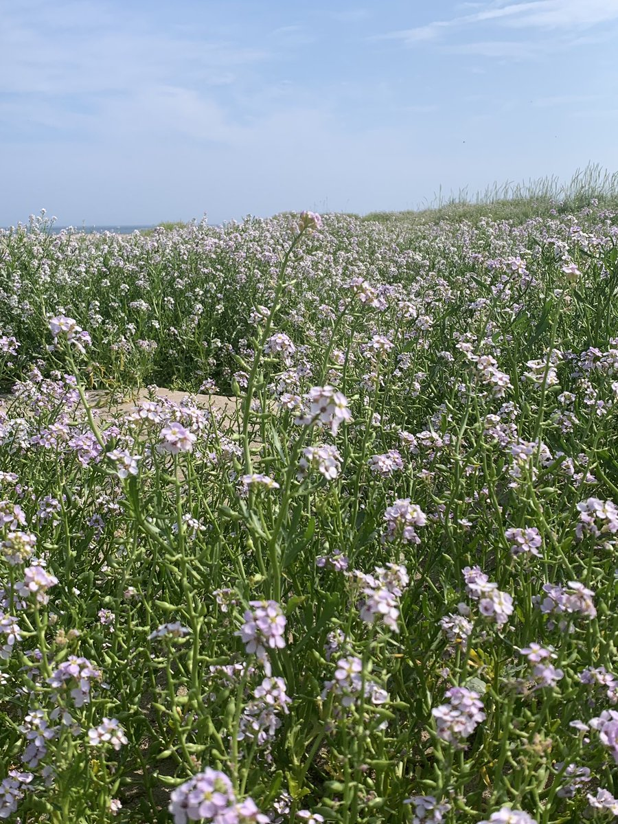 A carpet of sweet smelling Sea Rocket on Holy Island #wildflowerhour