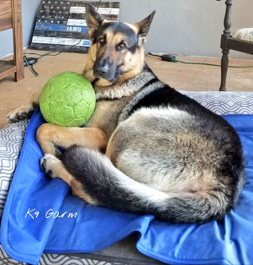 Does this ball make my butt look big?  #K9Garm #SARK9 #dogsoftwitter #dog #dogs #germanshepherd #gsd #moosedog #FaMoose <br>http://pic.twitter.com/p0dWVDk4oc