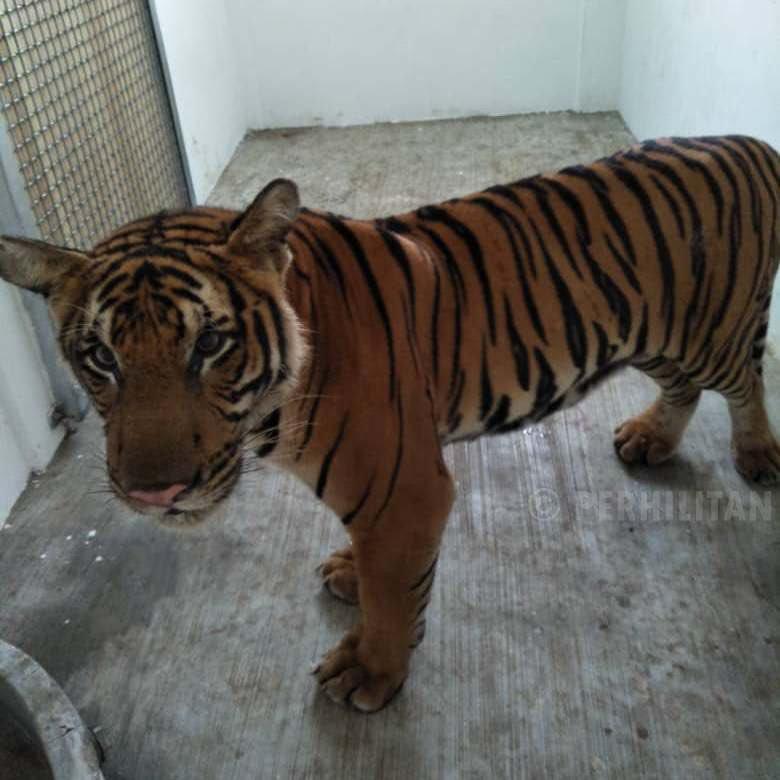 Harimau yang berkeliaran di jalanan desa Bukit Besi, Trengganu, Malaysia