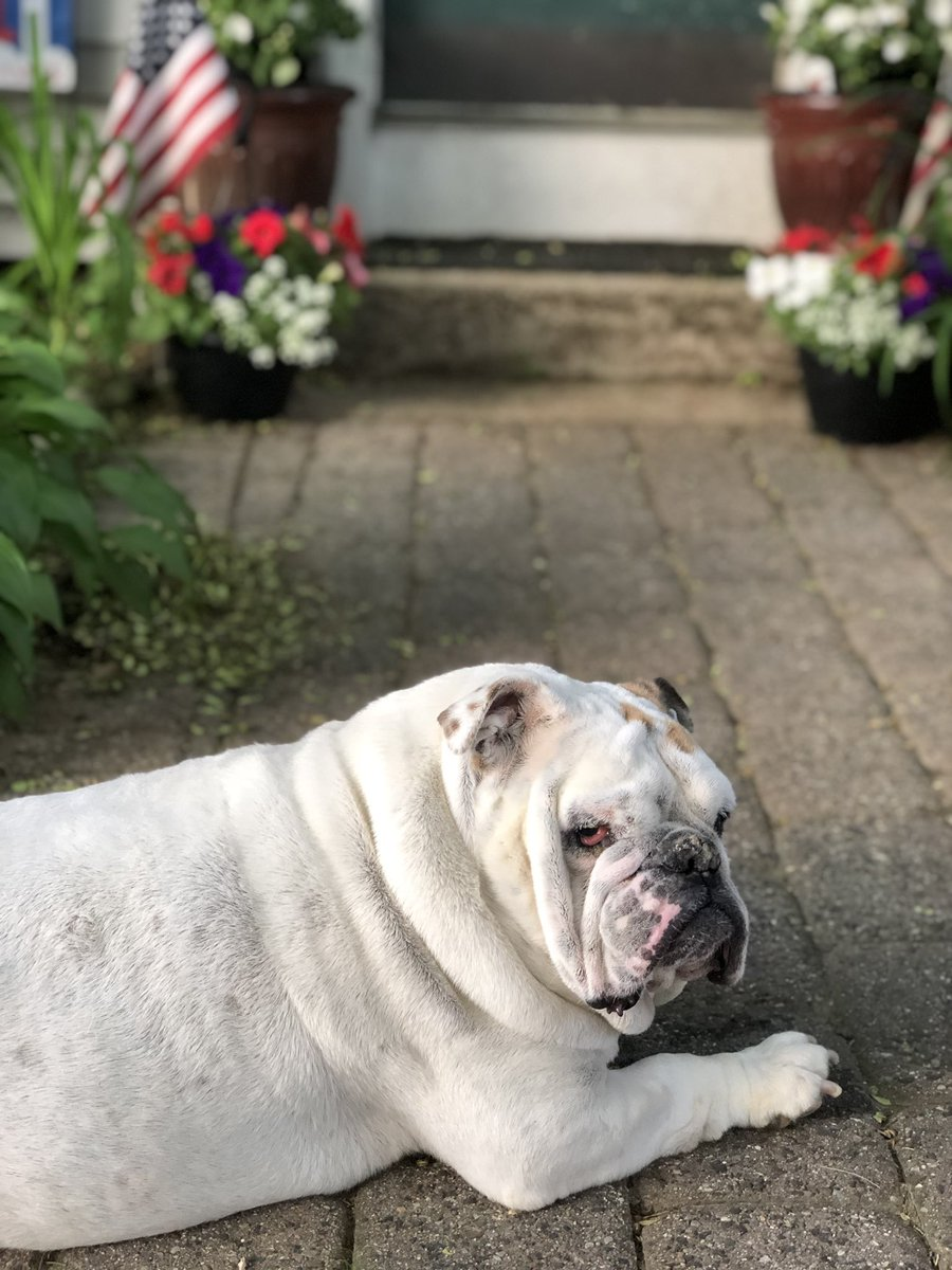 This is Me looking back at Everything I ate over the Weekend... Diet starts again on Monday... Love, Gertie the Bulldog  #gertiethebulldog #WeekendWisdom #Diet #SundayThoughts #SundayMotivation #dogsoftwitter #CatsOfTwitter #Bulldog #DogLife #dogs<br>http://pic.twitter.com/WhNJqlCdeA