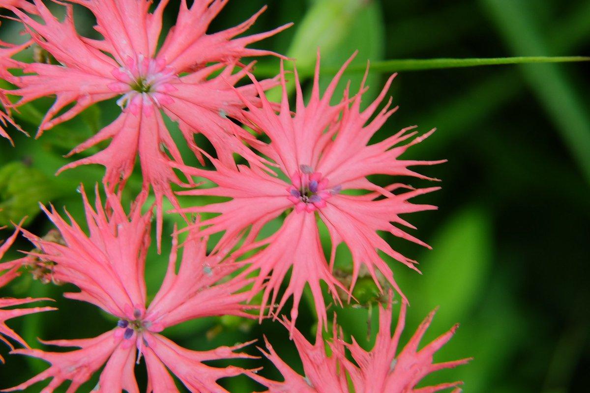 おはようございます。  オグラセンノウ(小倉仙翁)Lychnis kiusiana Makino 散った花も有りそろそろ盛りを過ぎて終盤を迎え様としてました🌼 散る前に見れて良かったです。 阿蘇の草原にて。