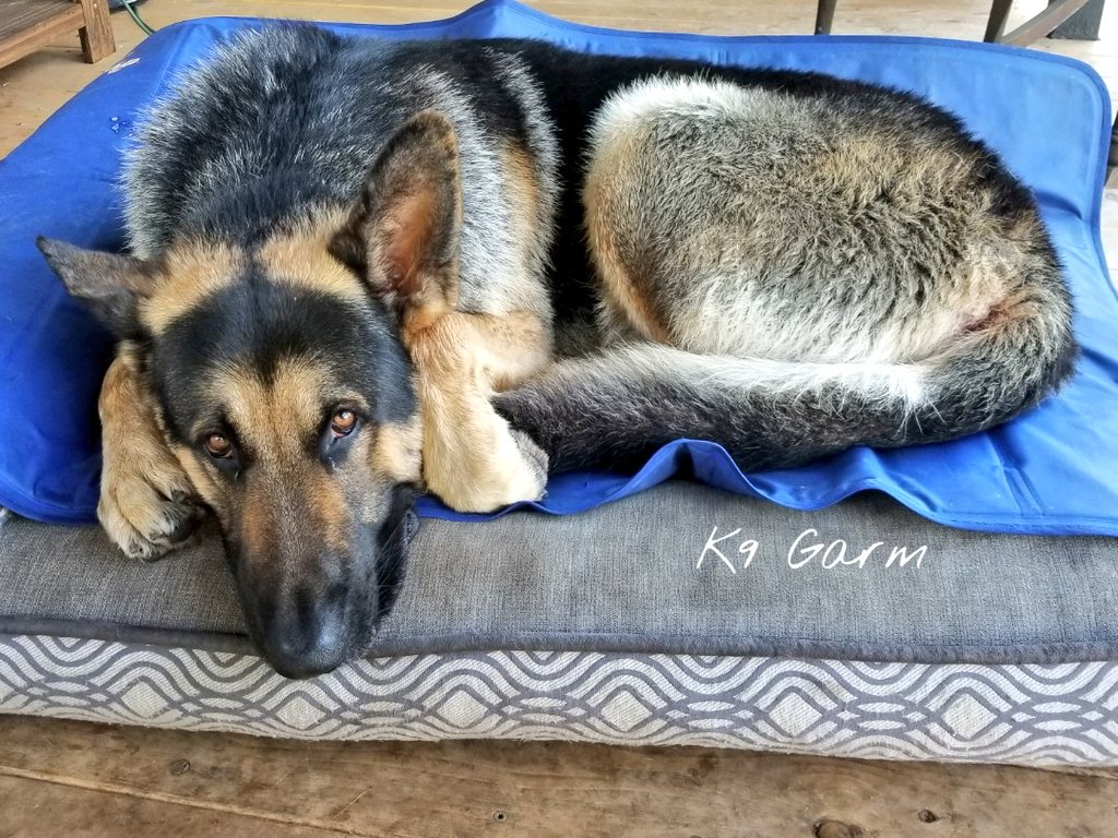 A very long day followed by a refreshing bath and some downtime on his cooling pad under his fan. A happy boy. #K9Garm #SARK9 #dogsoftwitter #dog #dogs #germanshepherd #gsd #moosedog #FaMoose<br>http://pic.twitter.com/kRNAo2hjBN